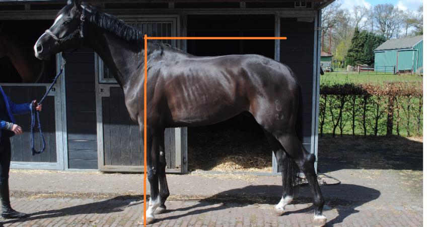 Wat is het verschil tussen de bouw en de houding van je paard?