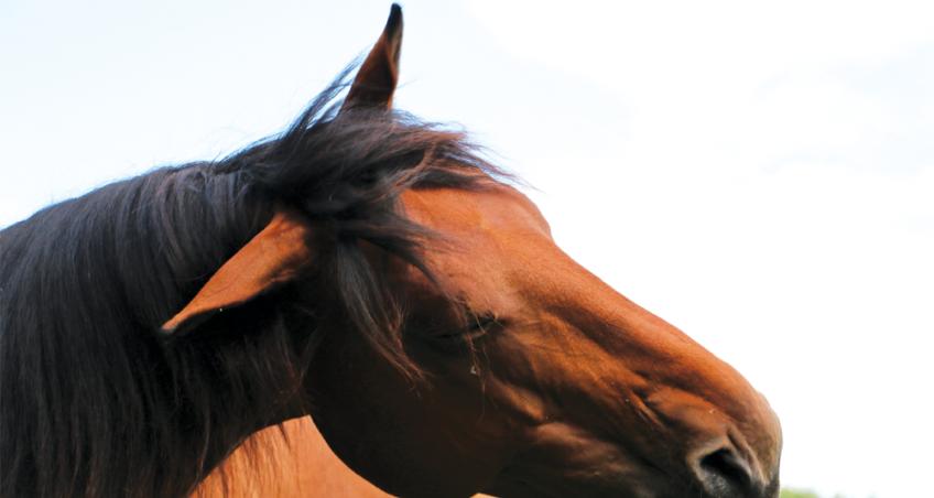 Hoop of hopeloos? Headshaking bij paarden.