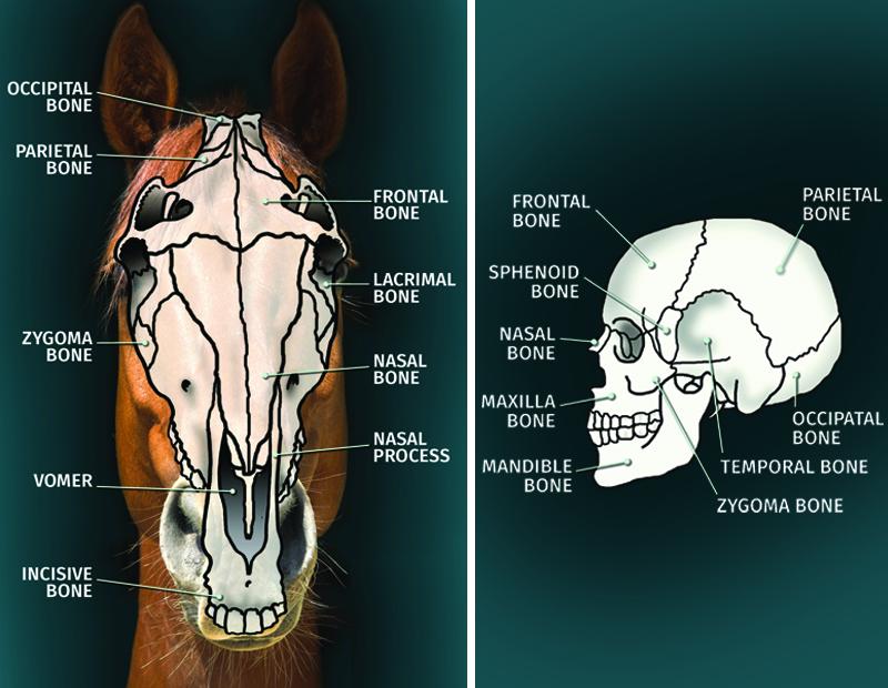 Schedelcompressie bij het paard